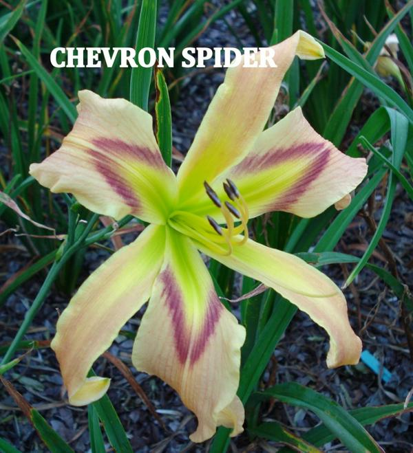 Chevron Spider