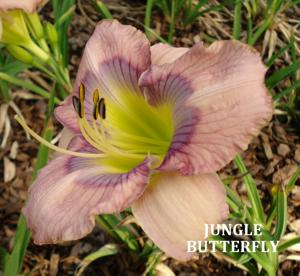 JUNGLE BUTTERFLY