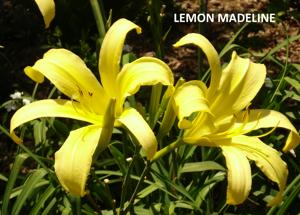 Lemon Madeline