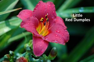 Little Red Dumples