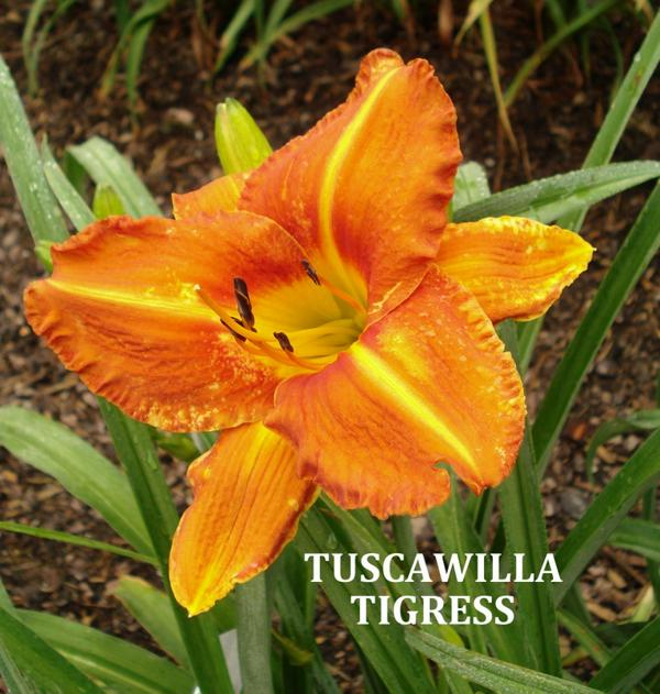 Tuscawilla Tigress