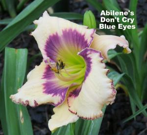 ABILENE DON'T CRY BLUE EYES